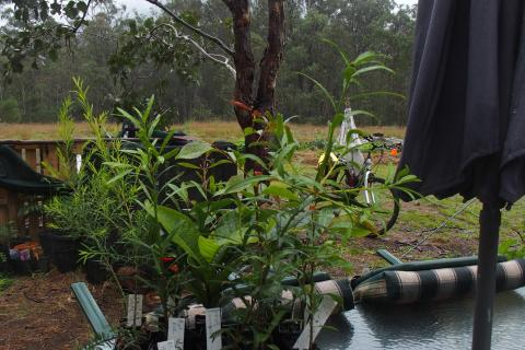 Small native trees from Mullum Creek Nursery